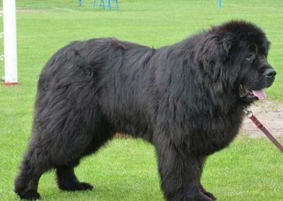 Ares pies nowofundland